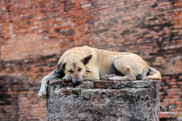Dog sleeping on the old brick wall in the ancient temple