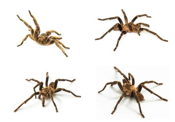 set of Tarantula Isolated on white Background