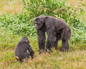Adult and baby chimpanzees in front of bush. Ngamba island chimpanzee sanctuary, Uganda.