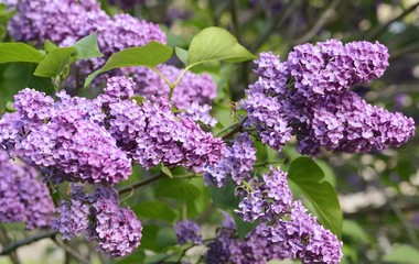 Foto auf Leinwand Flieder A lovely lilac at Morgan Arboretum, morning light.