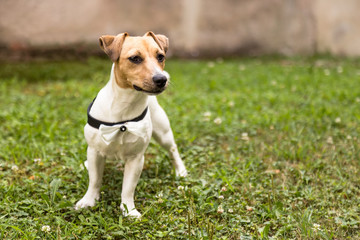 Jack russell terrier puppy standing on grass