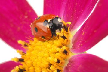 Ladybug sitting on kosmeyi
