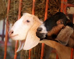 Photos  portrait of a goat