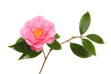Camellia flower and leaves
