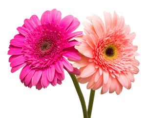 Two gerbera flowers