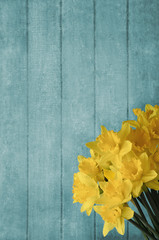 Daffodils Blossoming in front of Turquoise Wood Plank Background