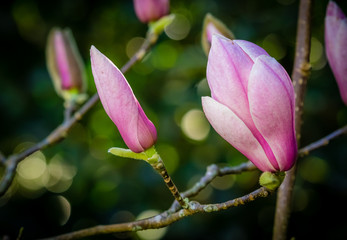 Closed magnolia buds