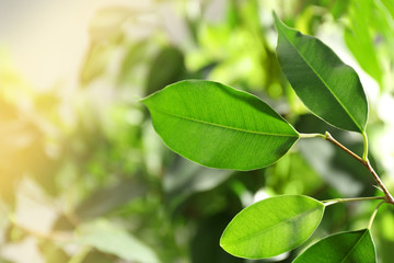 Green leaves of ficus on unfocused background