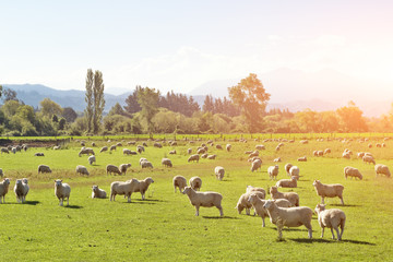 pasture with animals in summer sunny day in New Zealand Wall mural