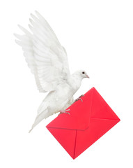 isolated dove carrying red envelope
