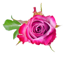 top view of beautiful pink rose flower with leaves is isolated o