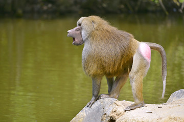 Baboon (Papio) standing on rock and seen from profile