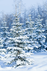 Snow-covered fir forest in cool colors