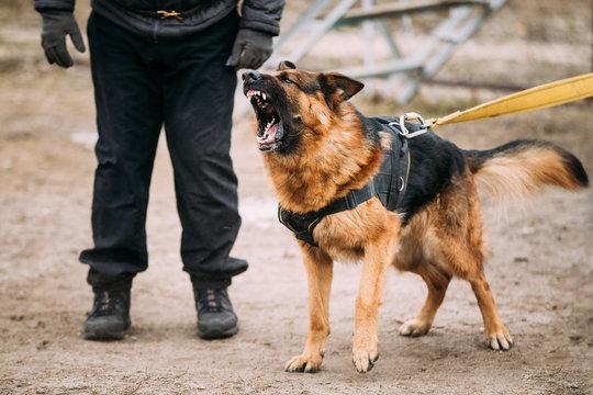 German Shepherd Dog training. Biting dog.
