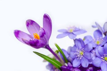 Delicate snowdrop, blue hepatica and purple crocus flowers on wh