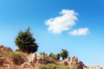 Cedar on the rock