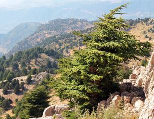 Cedar forest in mountains in Lebanon