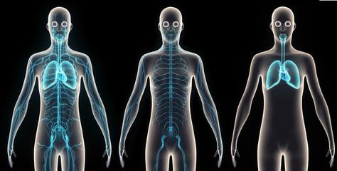 human body organes