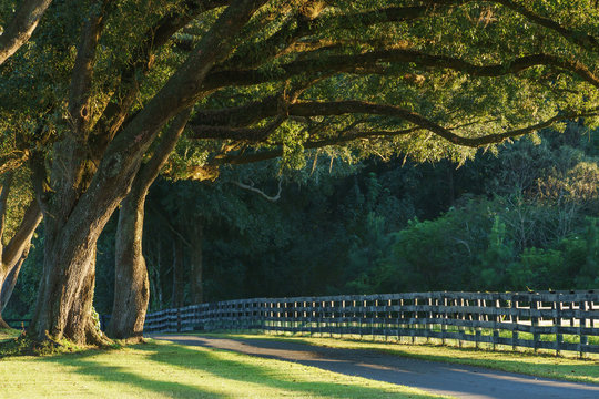 Live oak trees with four board farm fence in the rural countryside farm or ranch by a road looking serene peaceful calm relaxing beautiful southern tranquil