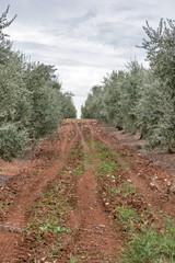 Olive tree field in Istria, Croatia