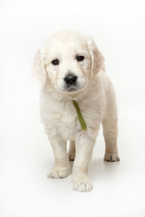 Puppy labrador retriever standing and looking at the camera (isolated on white)