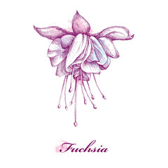Sketch of Fuchsia flower isolated on white background with blots in pastel colors.