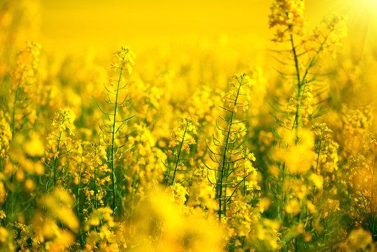Rapeseed field. Blooming canola flowers closeup