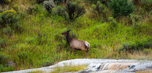 Baby elk in Yellowstone National Park