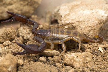 A small scorpion, around 5cm long
