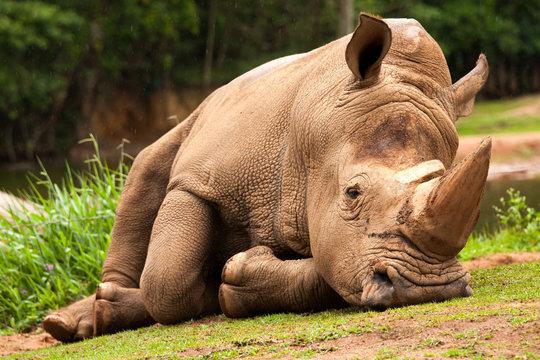 White Rhinoceros