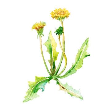 Set plants. yellow dandelions. isolated. watercolor