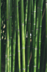 Green bamboo - background