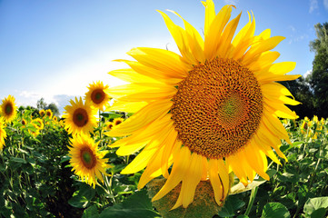 Agriculture sunflower summer plant