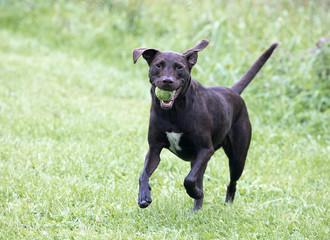 Boxer Labrador Retriever mixed breed dog