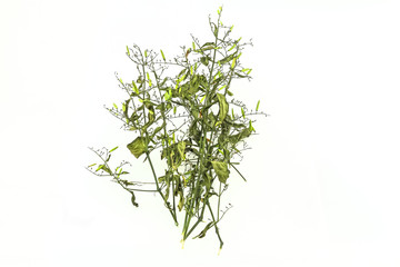Dry of Andrographis paniculata plant on white background use for herbal