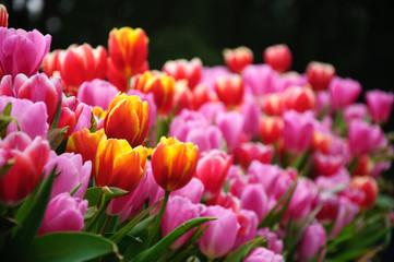 Acrylic Prints Tulip The beautiful blooming tulips in garden