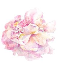 Peony watercolor image.