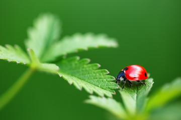 Ladybug on leaf and green background