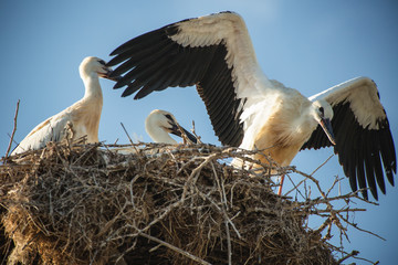 Stork with baby birds in the nest