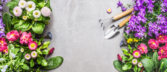 Garden tools with summer bed or balcony flowers on gray stone concrete background, top view, banner