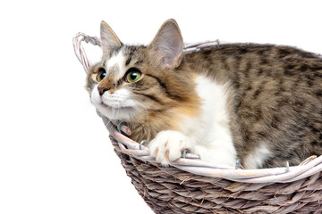 fluffy cat lies in a wicker basket close-up on a white backgroun