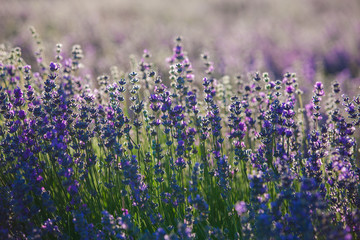 Provence lavender flowers.