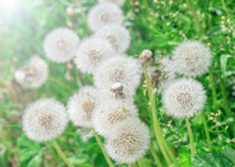 White airy dandelions