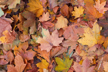 Background of old red autumn yellow foliage