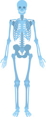 How human skeleton look like