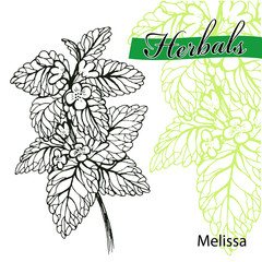 Hand drawn melissa with leaves and flowers isolated on white. Hand drawn spicy herbs. Doodle cooking ingredient for design. Vector illustration