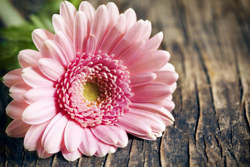 Beautiful pink gerbera flower on wooden background