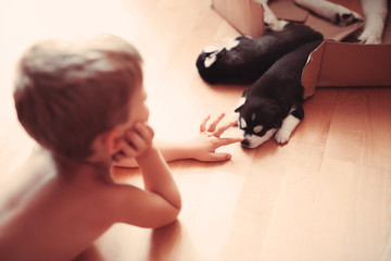 baby boy plays with a very beautiful husky puppy at home