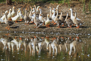 Geese and ducks on the lake/Geese and ducks on the lake, reflection in water