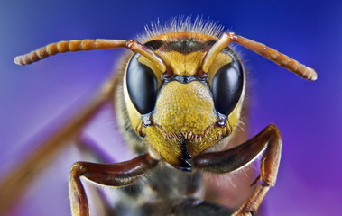 bee, nature, eyes, hornet, fly,detail,insect
